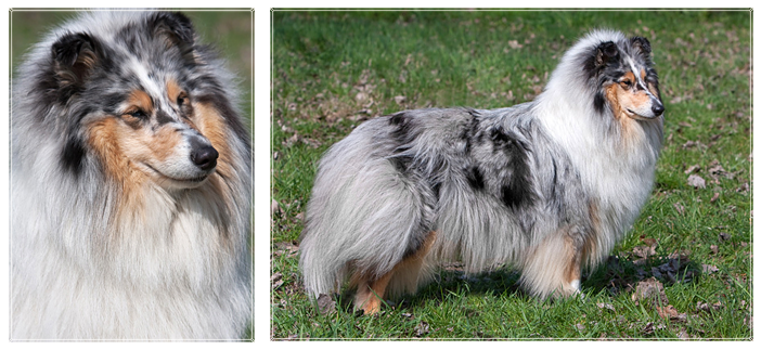 Kolia dlhosrsta blue merle Rineweld Zaria The Princess