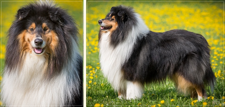 collie rough tricolor Amadeus Mozart Yaless Blue