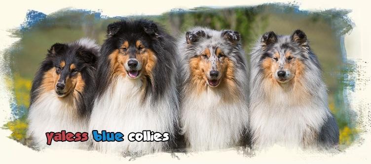 Kólia dlhosrstá - chovateľská stanica - Yaless Blue - Grace Kelly Blues du Clos de Seawind - turistika