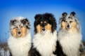 Collie rough - Yaless Blue Collies