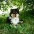 Collie rough - Belmondo Yaless Blue - 3 mesiace/months