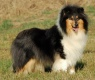 Collie rough - Betty Boop du Clos de Seawind - grandmum of Jaylin