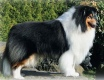 Collie rough - Chelborn Kiss n Tell - granddad of Jaylin & Hélios