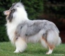 Collie rough - Demi Day Dream in Blue de Cathyja - babka Jaylin