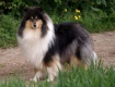 Collie rough - Eiliis Beauty Black du Domaine des Emeraudes - grandmum of Helios