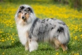 Collie rough - Grace Kelly Blues du Clos de Seawind - mum of Jaylin