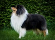 Collie rough - Salsina Suprises Monsolana - dad of Jaylin